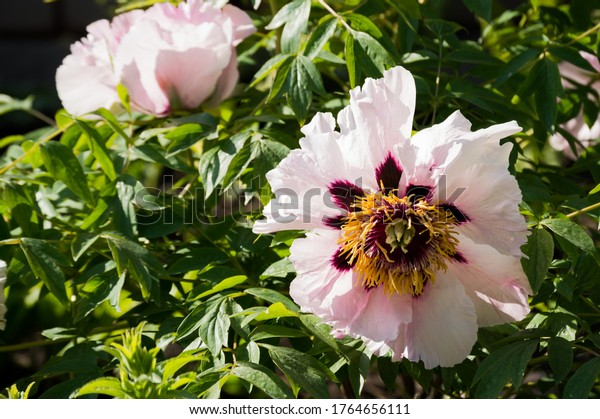 large-pink-flowers-on-peony-600w-1764656