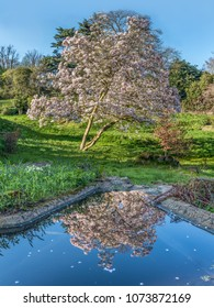 large pink magnolia tree reflecting in the water in a pond