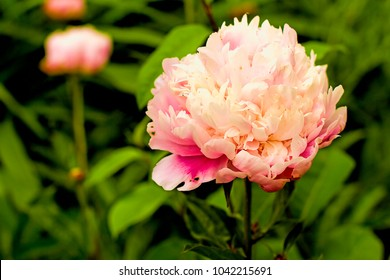 Large Pink Peony in garden, closeup