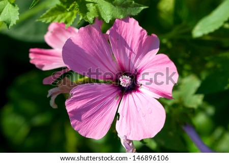 Large Pink Summery Flower Five Petals Stock Photo Edit Now