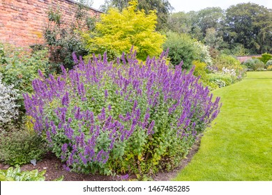 Large plant of purple cat-mint Nepeta cataria in a herbaceous border of an established garden.