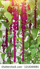 A large plant and a red amaranth flower, large blooming red amaranth braids dangle against the background of the sun, decorative
