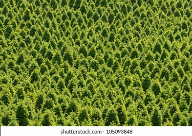 Large plantation of Christmas trees on an Oregon farm