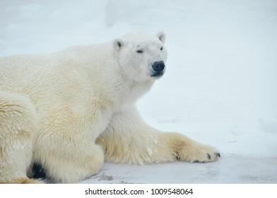 Large polar bear lies on snow in winter  scope