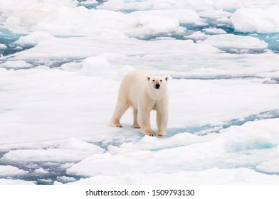 Large polar bear walking on the ice pack in the Arctic Circle, Barentsoya, Svalbard, Norway