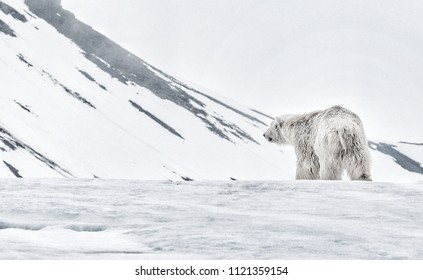 A large polar bear walks of into the distance in the Arctic