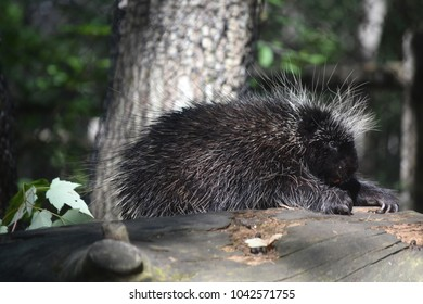 Large porcupine climbing over a log with it claws