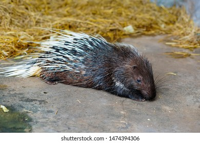 Large Porcupine, Common Porcupine, East Asian Porcupine. Close up of a big porcupine is relaxing with concrete and wheat straw in the background