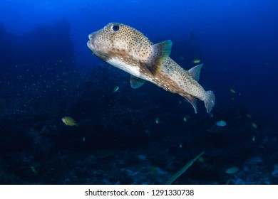 Large Porcupinefish on a tropical coral reef