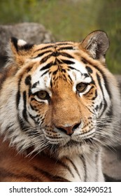 a large portrait of a Siberian tiger