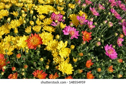 Large potted chrysanthemums form a beautiful bright carpet of fall colors. Chrysanthemums, also called mums, are a hardy perennial which flowers in autumn.