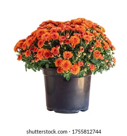 Large potted orange Chrysanthemums isolated over a white background.