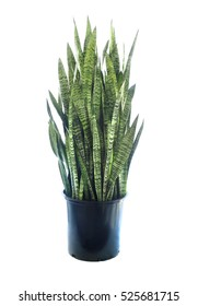 Large Potted Variegated Sansevieria Isolated on White