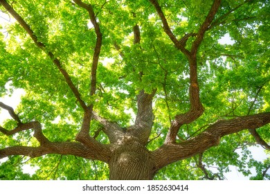 Large, powerful German oak with lush green tree tops