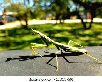 A large Praying Mantis admiring his shadow.