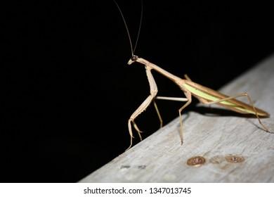 large praying mantis on wood railing at night