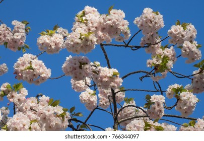 Large puffs of pink cherry blossoms against bright blue sky in spring sunshine