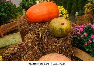 large Pumpkin on wet hay near big  wooden boxes.Yellow and orange  pumpkins. Nearby there are red flowers. Colorful autumn in Europa