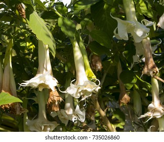 Large pure white trumpet flowers of Datura  a genus of nine species of poisonous vespertine flowering plants in the family Solanaceae, called Angel's Trumpets or Moonflower , blooming in winter.