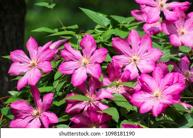 Large purple Clematis flowers. Clematis from the Viticella Group (Clematis Ville de Lyon)