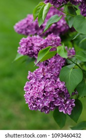 Large Purple Lilac Blooms