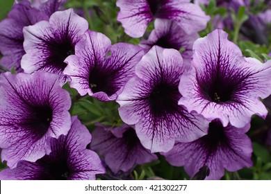 large purple petunias