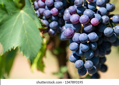 Large purple wine grapes on vine hanging grapevine bunch in Montepulciano, Tuscany, Italy vineyard winery bokeh background sunny day in countryside macro closeup