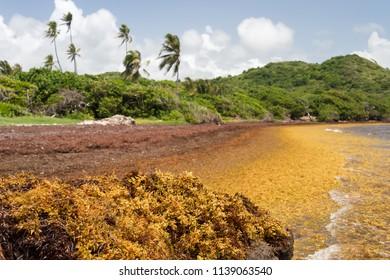 """Large quantities of Sargassum seaweed lay ashore at the """"Anse au Bois"""" beach in Martinique"""