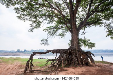 The large rain tree on a riverbank, magical bare large rain tree's roots on the dirt ground. Mekong River, Thailand.