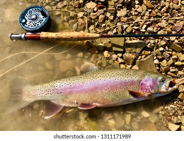 Large Rainbow Trout fish and a fly rod, reel and line