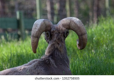 Large ram horns as seen from behind on a male bighorn sheep laying in the spring grass and peeking to the side.