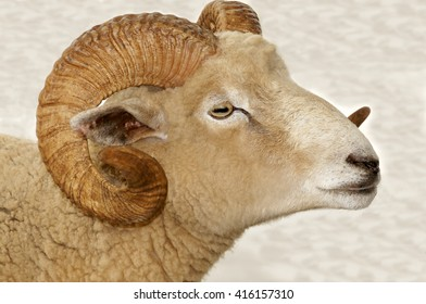 Large ram's head with big curling horns.