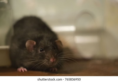 large rat black mink with dark eyes on a wooden surface, focus on the head on a blurred background
