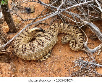 A large rattlesnake (Great Basin Rattlesnake or Crotalus oreganus lutosus) shortly after eating a big meal, likely a rabbit or squirrel