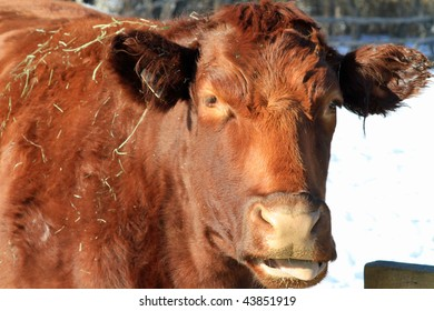 Large red cow chewing cud
