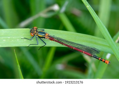 Large Red Damselfly (Pyrrhosoma nymphula) a common insect species resting on a grass reed stock photo