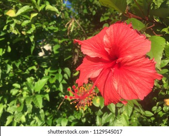 Large red flower (Puerto Rican Hibiscus) growing on the side of the road in Fajardo, Puerto Rico.