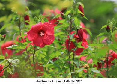 Large red flowers that bloomed in the flowerbed