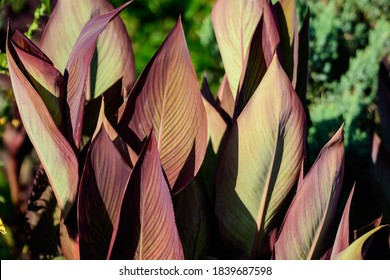 Large red and green leaves of Canna indica plant, commonly known as Indian shot, African arrowroot, edible canna, purple arrowroot or Sierra Leone arrowroot, in soft focus, in a garden in a summer day