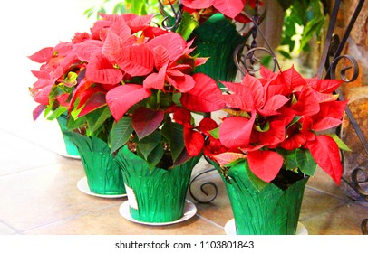 Large red poinsettia plants at church