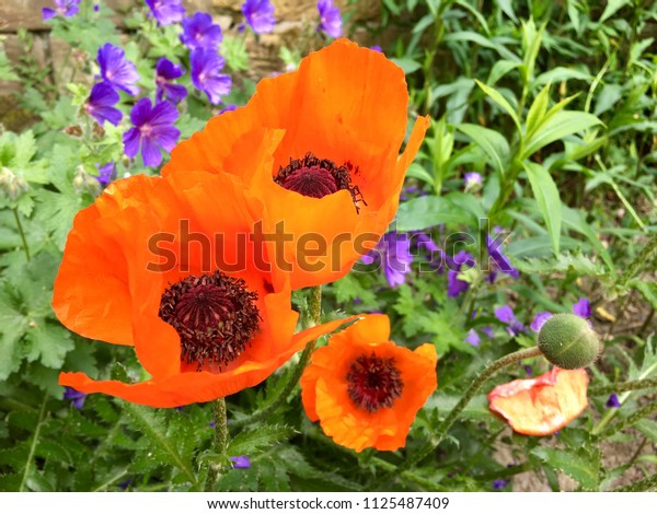 Large red poppy flowers
