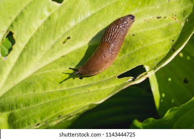 Large Red Slug ( Arion rufus ) attack leaf of a flowers. Cause of the most damage in garden. Agricultural pest.