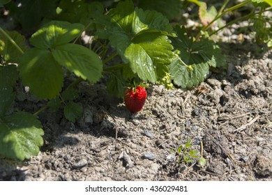 Large red strawberry against the background of green leaves in the garden near private houses