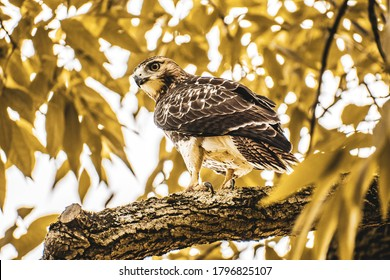 A large red tailed hawk perched on a tall tree branch in front of a background of golden leaves, looking sideways with its beak, eye, tail, and talons showing.