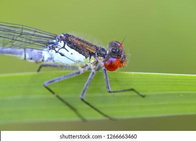 Large redeye or red-eyed damselfly, Erythromma najas