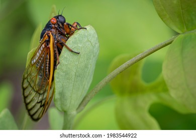 A large red-eyed 17-year cicada clings to a green leaf in a Virginia forest.