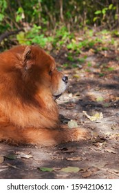 A large red-haired, shaggy dog of the Chow Chow breed, lying in profile, in a park on the ground against the background of trees