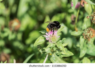 Large red-tailed bumblebee extracts pollen from a clover flower (Bombus lapidarius)