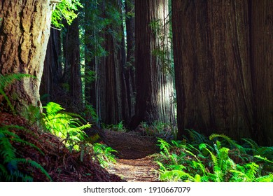 Large redwood trees along a path