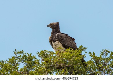 A large and regal martial eagle in the treetop in Kruger National Park, South Africa.